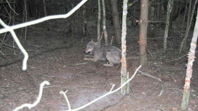 Leśnicy uwolnili wilka, <br />który wpadł w pułapkę kłusowników