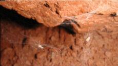 Nowe gatunki pająków pelikanów na Madagaskarze